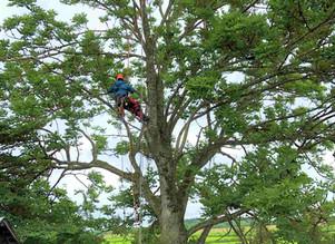 ヤチダモの高所伐採|北海道の高木