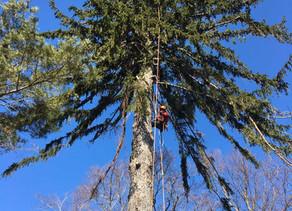 ドイツトウヒの伐採の様子|空師が登って伐ります|北海道