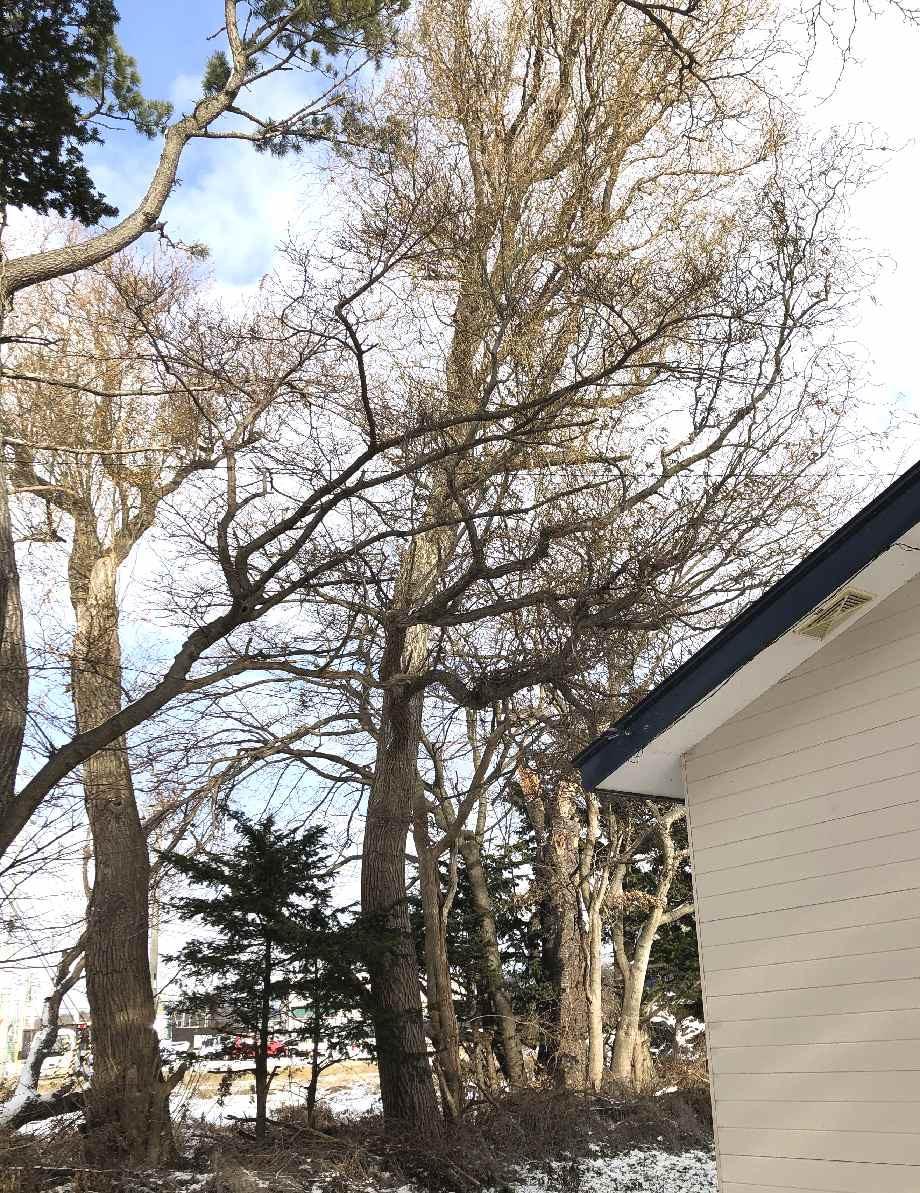 家屋に近い柳の伐採