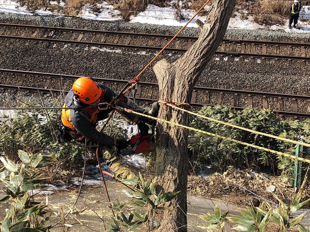 斜面に生えた木を空師が伐採中