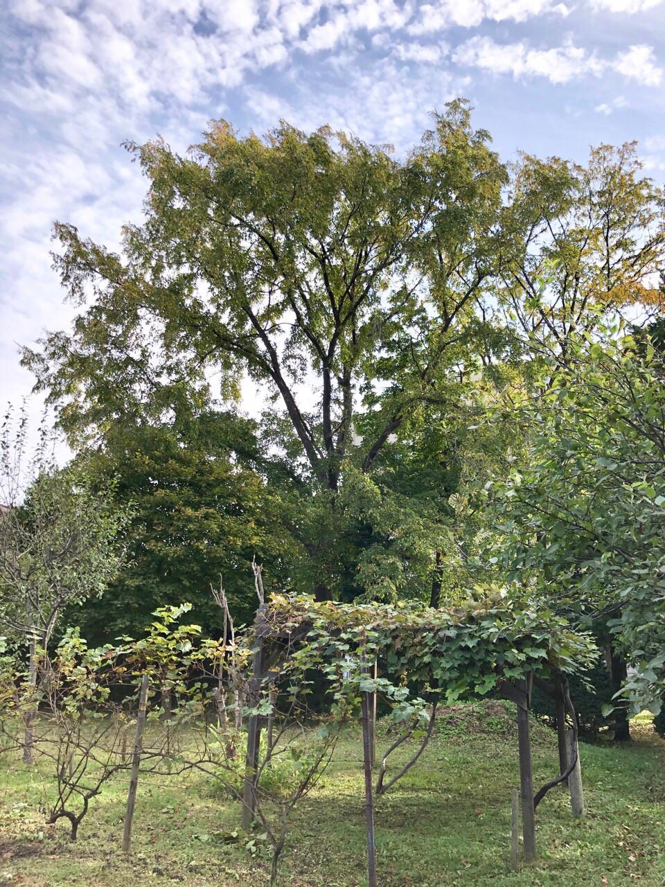大きくそびえる大木の楡