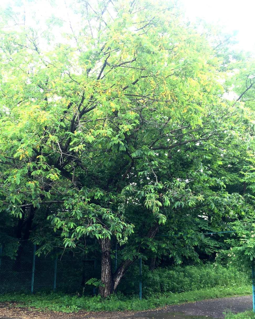 アカシアと栗の木