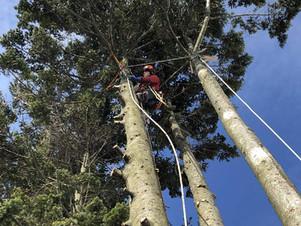 トドマツの伐採時期は?|北海道の高木特殊伐採