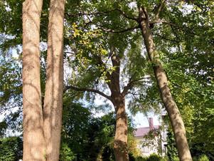 現場密着取材:20mの楡の木を伐採|千歳の住宅街にて