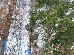 ツタが絡むカラ松の伐採|北海道の空師現場より