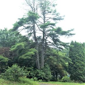 双子の松を高所伐採 北海道空師の現場より