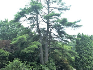 双子の松・大木を伐りたい|北海道空師の現場より