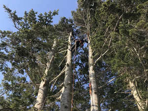 トドマツ・カラマツ|高所伐採で低くする|冬の現場から