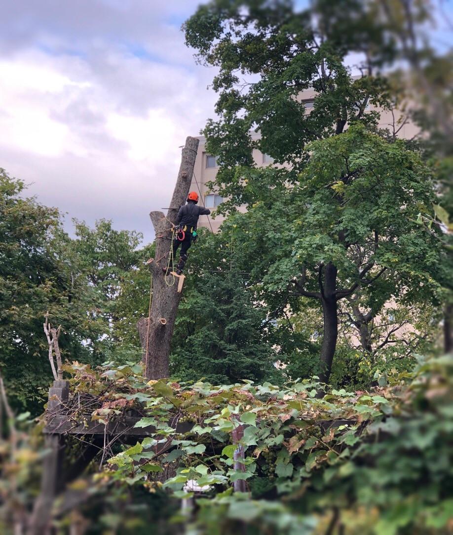 楡の木の胴切り