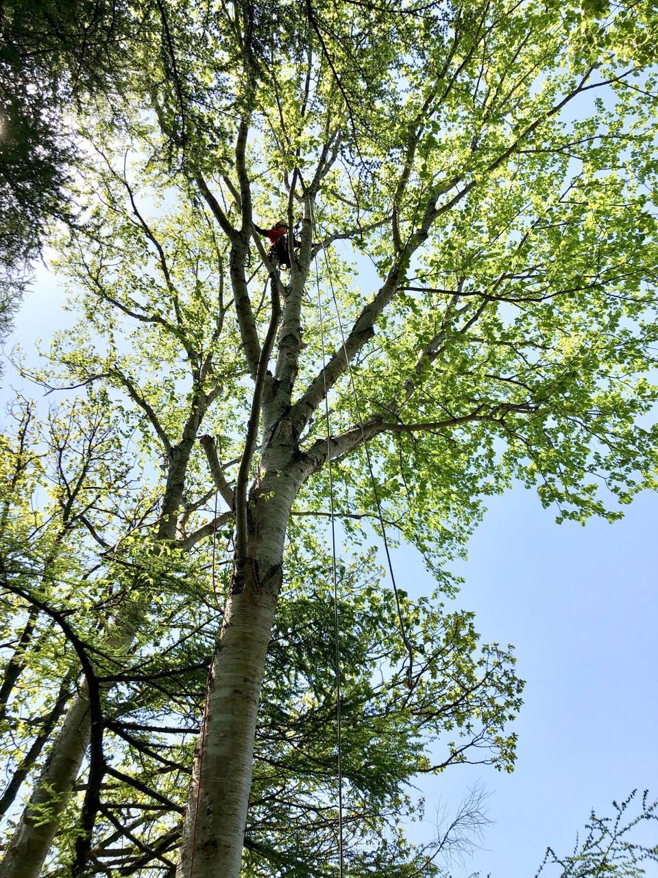 マカバの大木の伐採