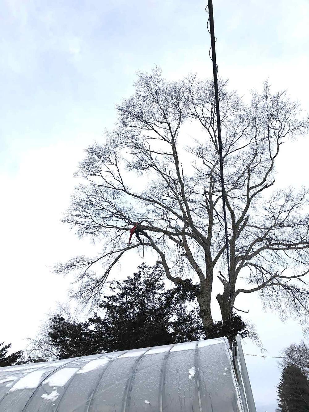 真冬に楡の大木を伐採