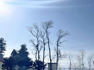 アカシア(ニセアカシア)の伐採|北海道の空師の現場から