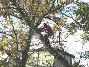 傾いた柳ほかの樹木伐採|北海道の特殊伐採の現場から