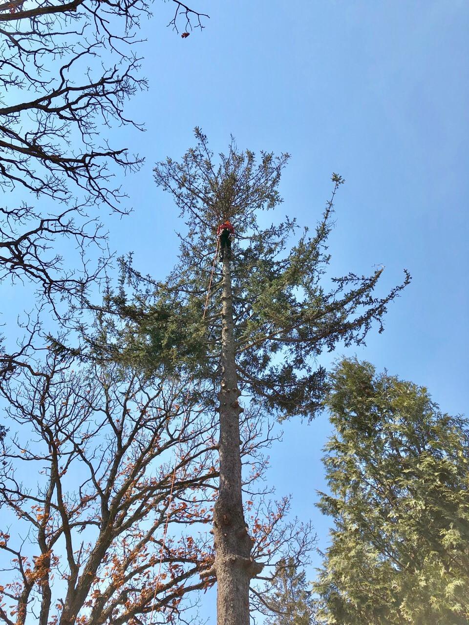 カラマツの特殊伐採