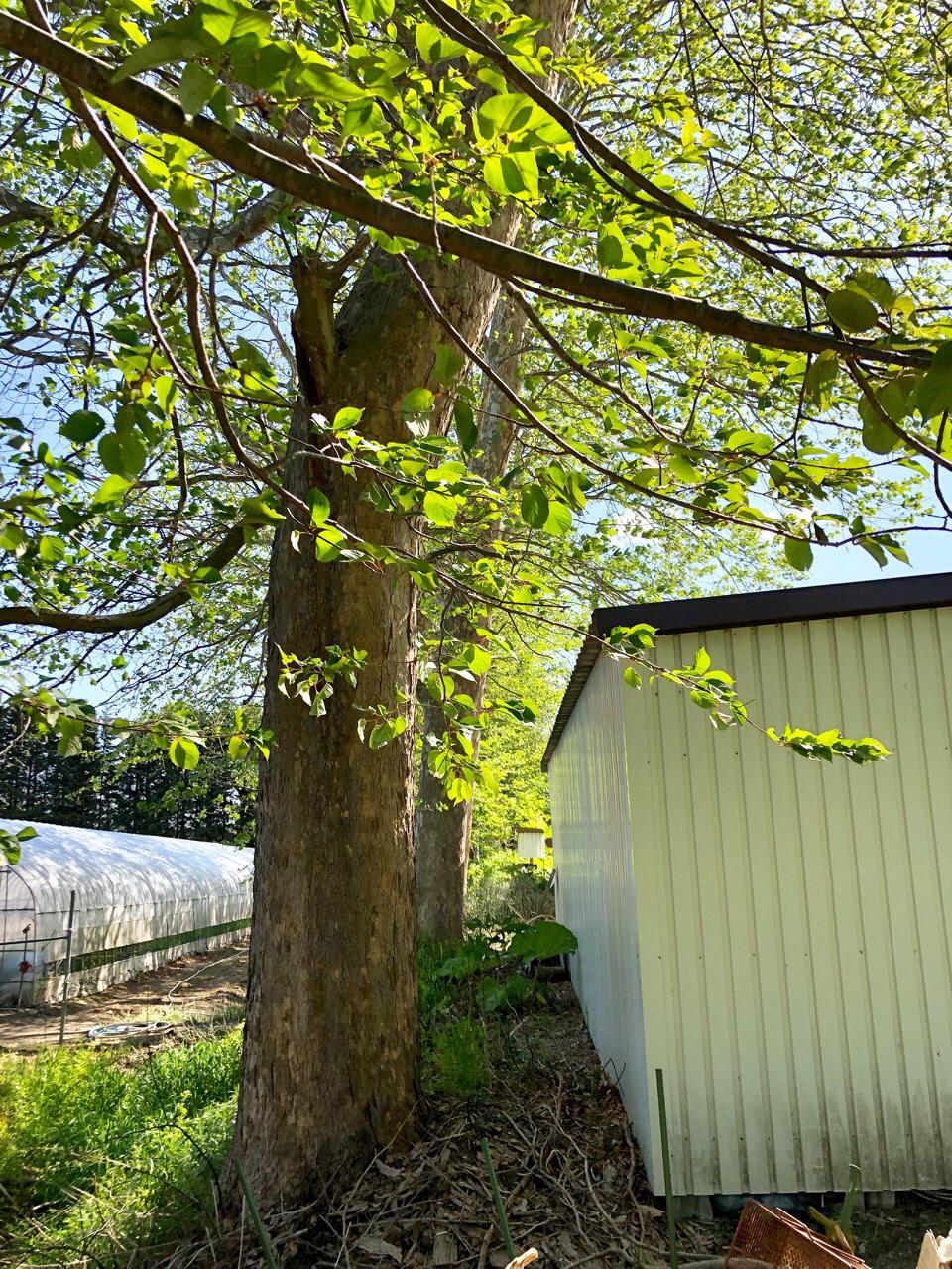 車庫に接近した木の伐採