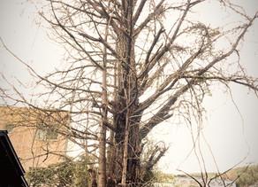 イチョウの大木伐採|枝数に苦戦!