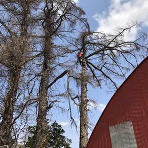 事例特集 建物に接近した木を伐採するなら空師におまかせ 北海道