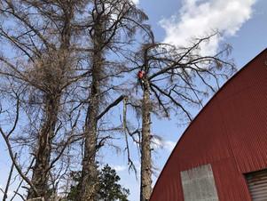 事例特集|建物に接近した木を伐採するなら空師におまかせ|北海道
