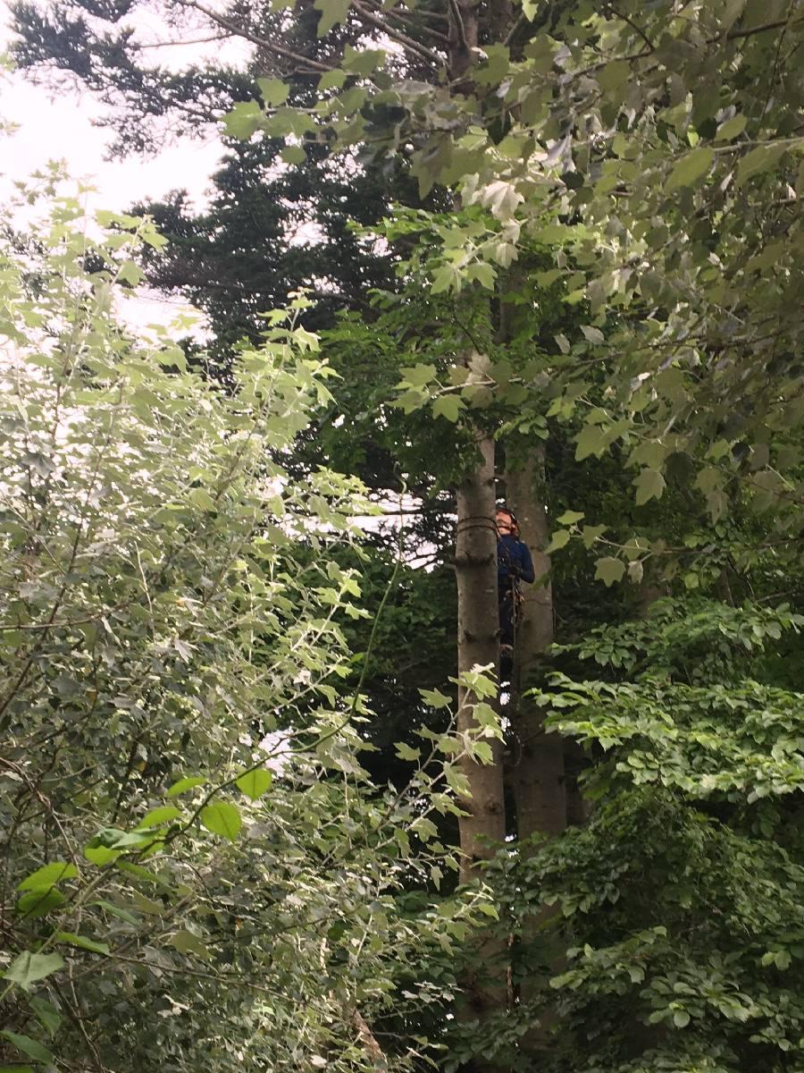 空師が登木中、手前のギンドロをカットします