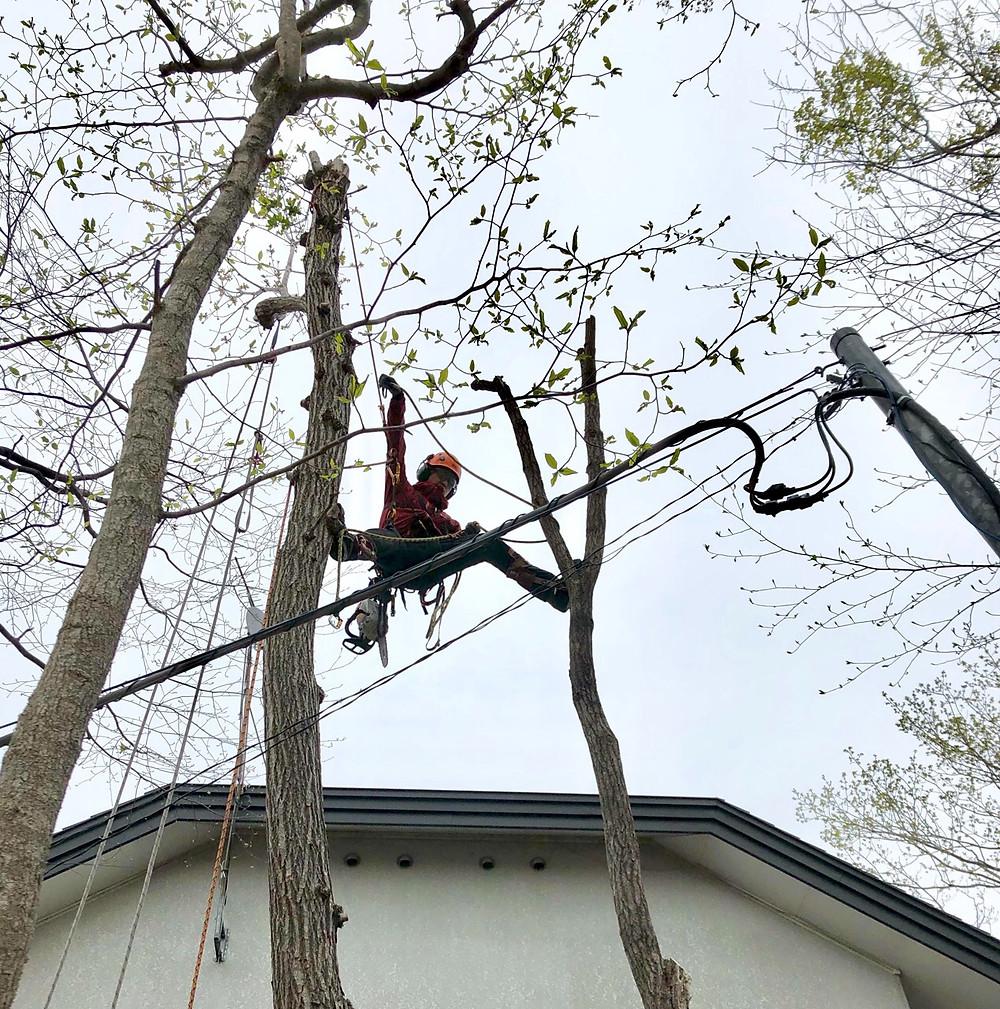 電線に接近して生えている木