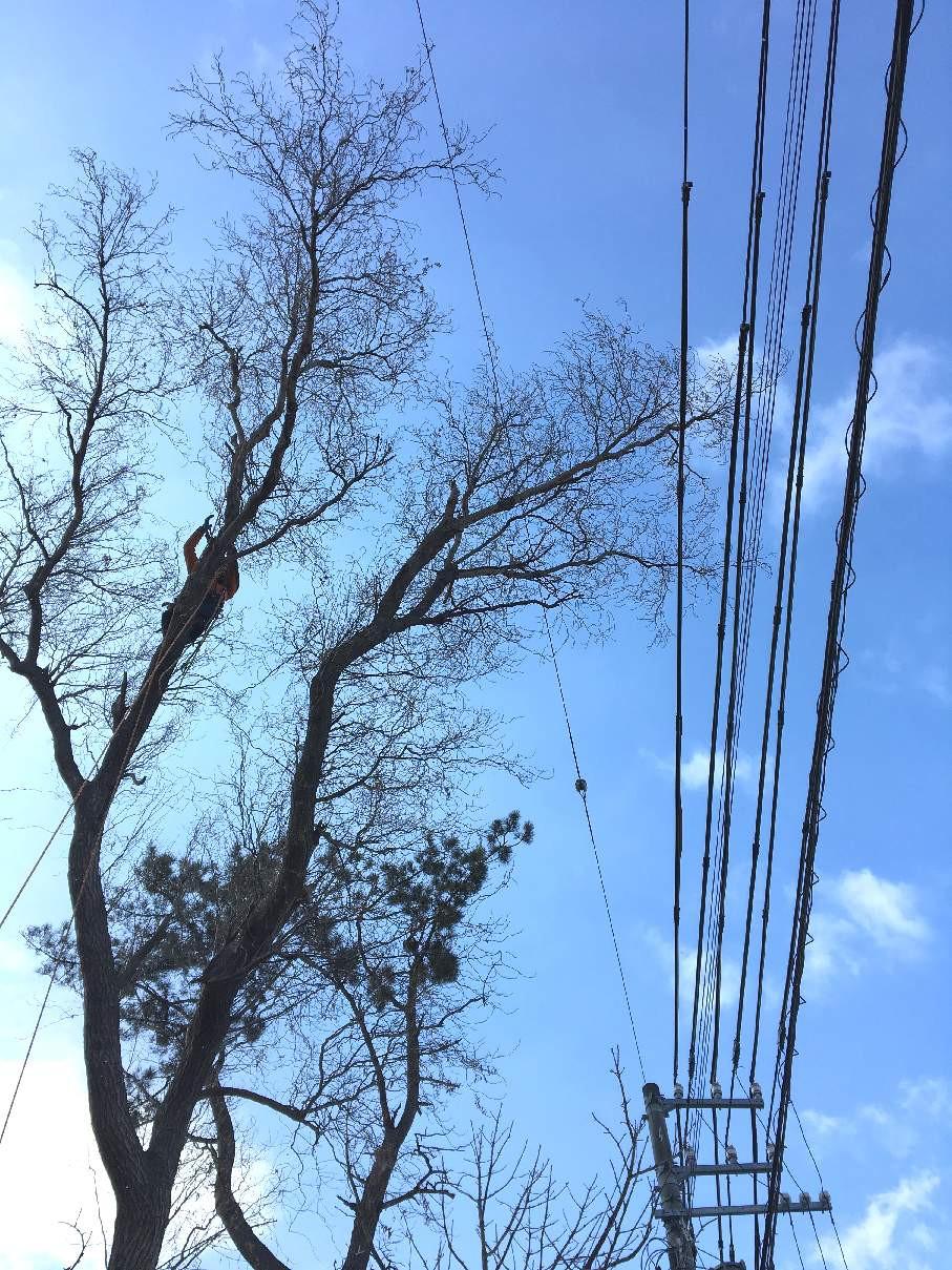 電線上に枝を伸ばした木