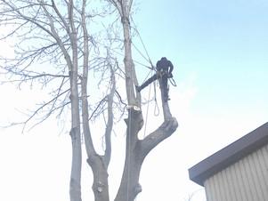 大きなヤチダモ伐採(動画あり)|北海道の空師の現場から