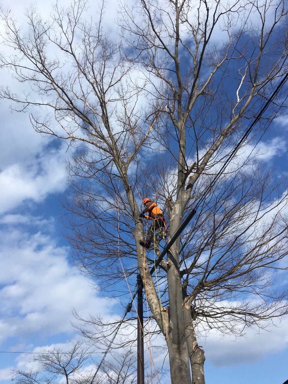 特殊伐採現場:電線との絡み