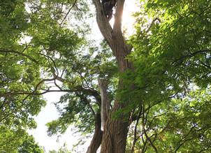 国有地の樹木管理 アカシア・カエデ・ミズキほか|関建設様のお手伝い