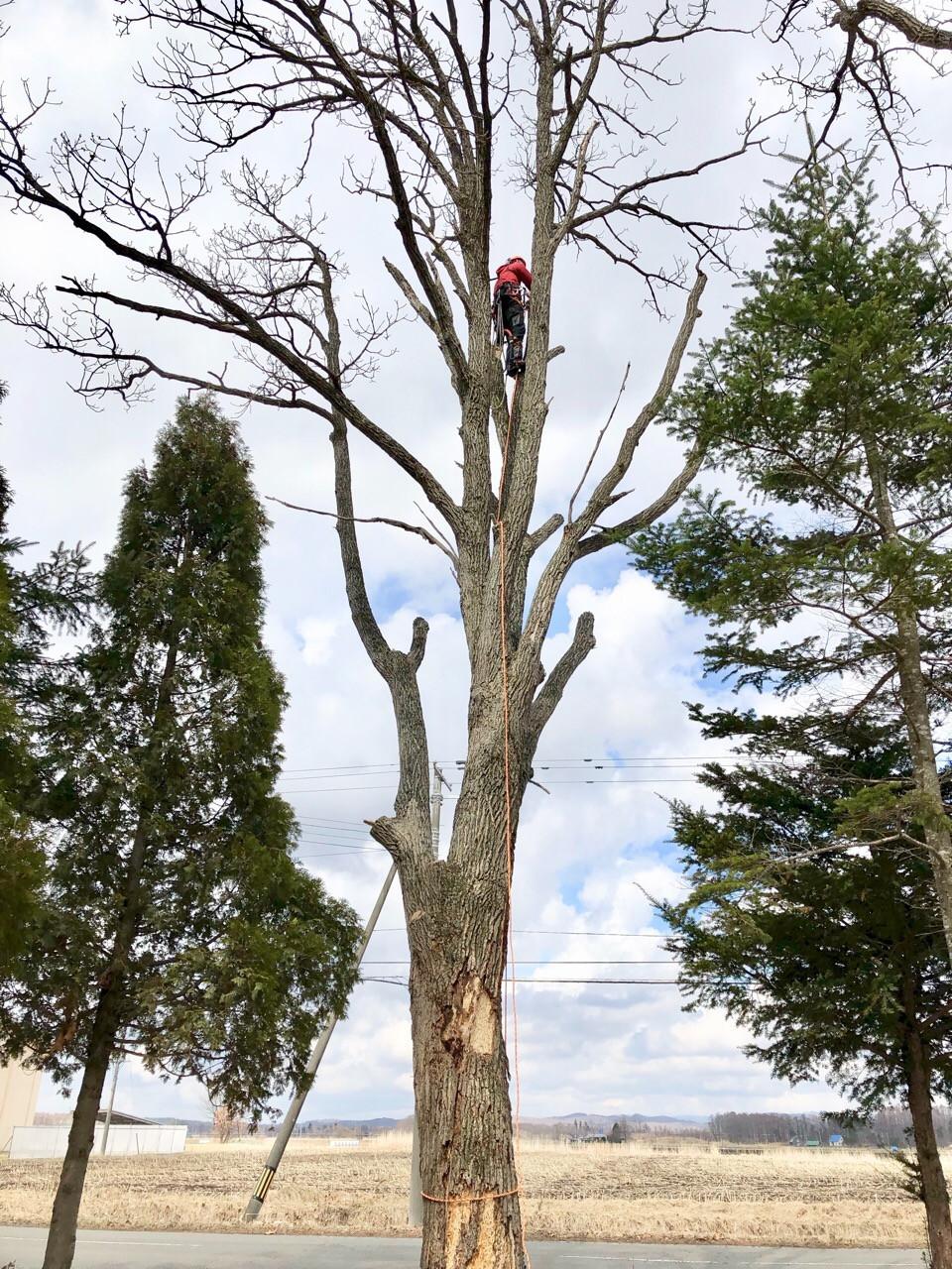 18mの老木をクライミングで伐採中