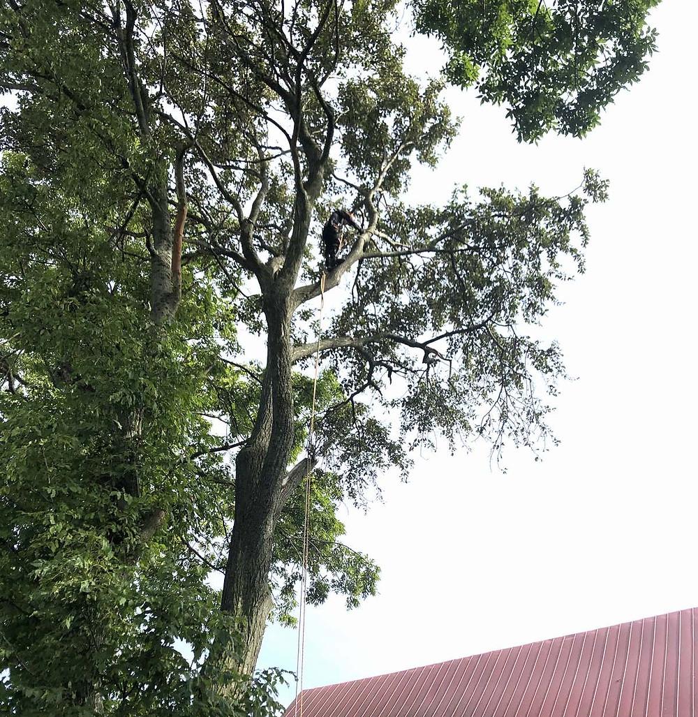 ドロヤナギ伐採開始