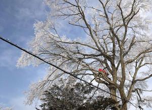 空師の冬の現場から|北海道の特殊伐採の様子