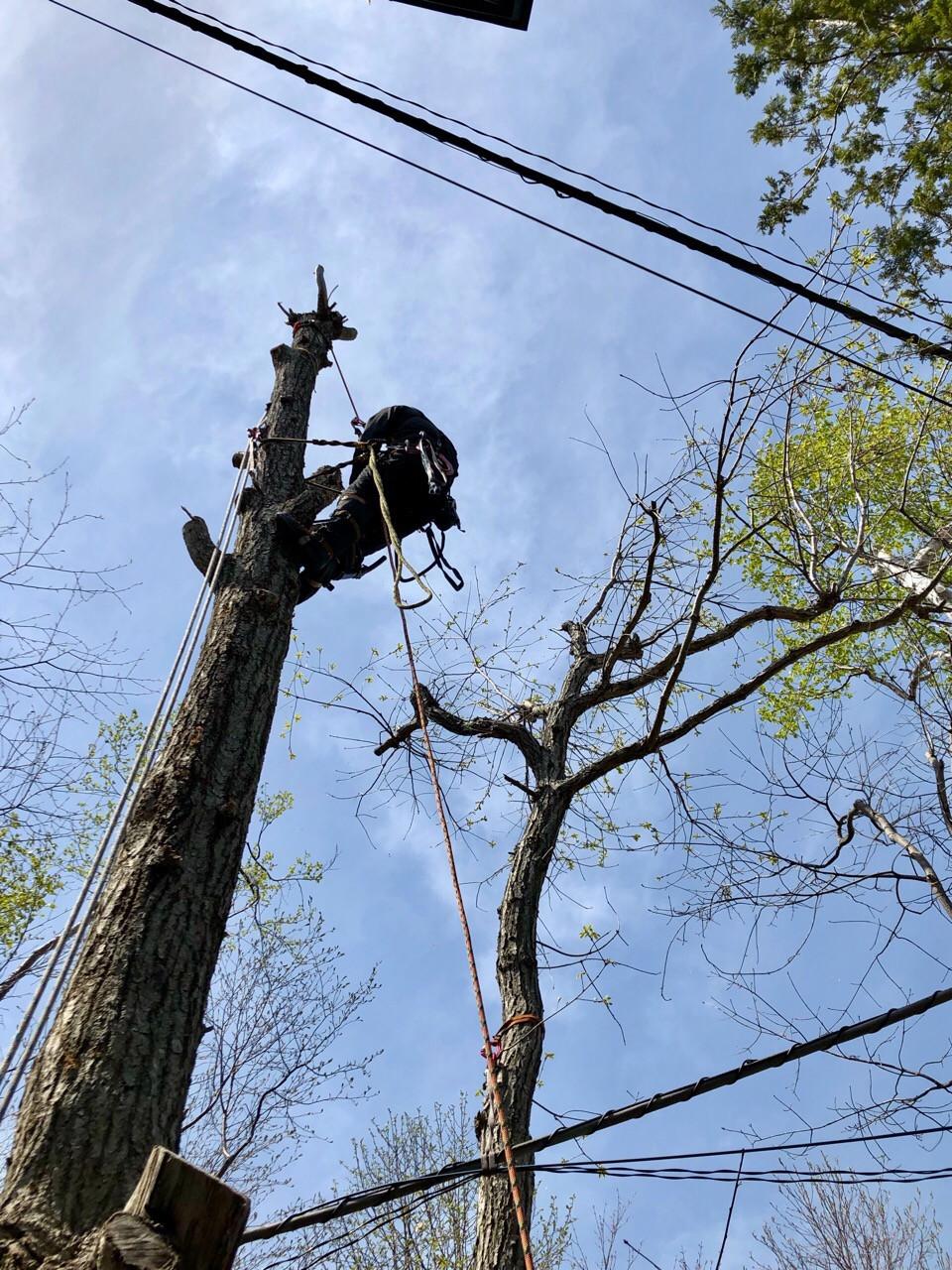 電線に接近して伸びた木の伐採