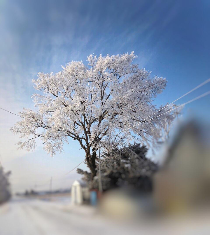樹氷に覆われた楡の木
