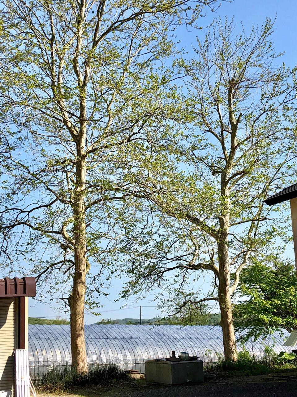 ビニールハウスに接近した木の特殊伐採
