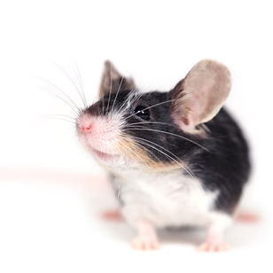 Calico mouse front view.jpg