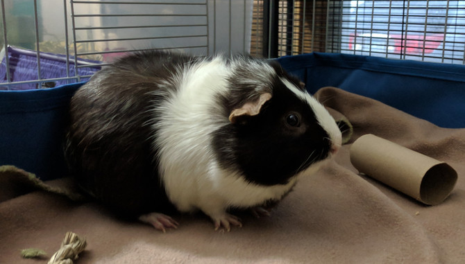 Happy Guinea Pig Appreciation Day!