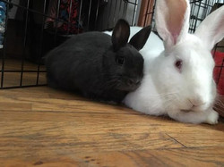 Bunilla Ice & Rabbit downey Jr