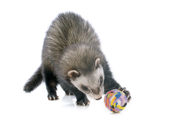 ferret with ball front.jpg