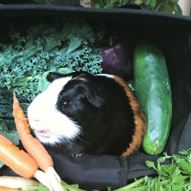 Pocket Pet Health Tip: Guinea Pig Bladder Problems