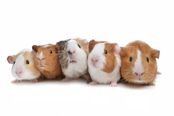 A Quick History of the Guinea Pig