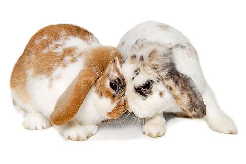 bunnies headbutting.jpg