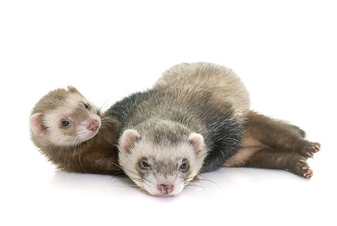 two ferrets cuddle.jpg