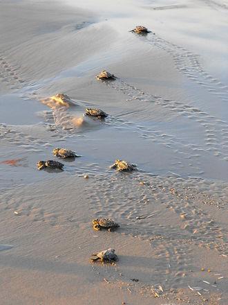 sea-turtles-245316_1280.jpg