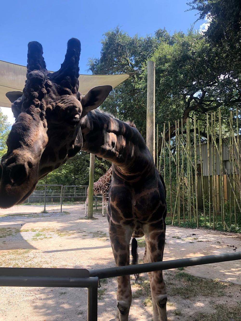 Giraffe encounter at AZA!