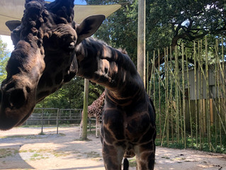 Giraffes, art, and carousels; Oh, my!