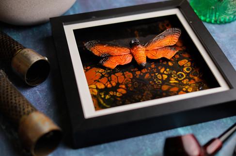 Burnt Orange Death Head Hawk Moth