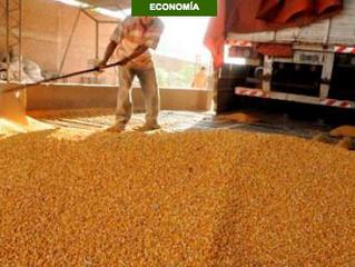 Sector maicero habla de merma en la producción