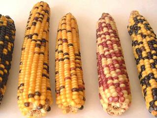 Un nuevo genoma del maíz explica por qué es el cultivo más adaptado