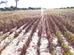 Sequía castiga campos soyeros de cuatro municipios
