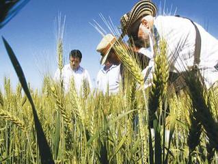 Iniaf anuncia liberación de variedades de trigo